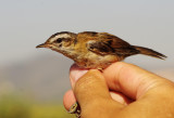 Moustached Warbler, Acrocephalus melanopogon