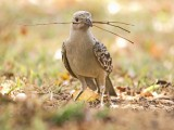 Great Bowerbird, Chlamydera nuchalis