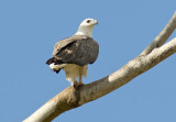 White-bellied Fish Eagle -  Haliaeetus leucogaster