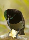 Victoria's Riflebird - Ptiloris victoriae