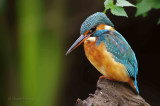 Kingfisher October 2011