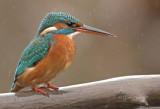 Kingfishers November 2011