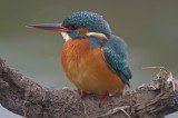 Kingfishers on the Alphin Brook