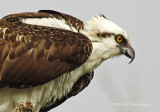 Western Osprey -  Pandion haliaetus carolinensis