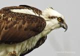 Ospreys - Pandion haliaetus