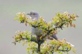 Cuckoo - Cuculus canorus 33