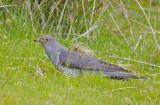 Cuckoo - Cuculus canorus 32