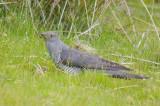 Cuckoo - Cuculus canorus 31