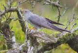 Cuckoo - Cuculus canorus 26