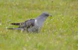 Cuckoo - Cuculus canorus 28