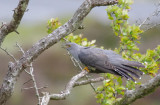 Cuckoo - Cuculus canorus 24