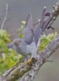 Cuckoo - Cuculus canorus 23