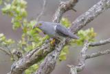 Cuckoo - Cuculus canorus 22