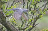 Cuckoo - Cuculus canorus 10