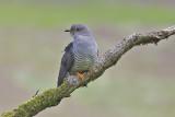 Cuckoo - Cuculus canorus 20