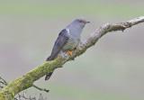 Cuckoo - Cuculus canorus 19