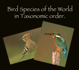 Birds of the world in Taxonomic order.     Species count  to September 2021 is 937
