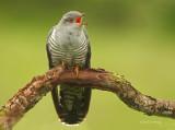 Cuckoo - Cuculus canorus