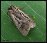Dingy cutworm moth (Feltia jaculifera ) , #10670 ??