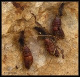 Pupal cases of moths