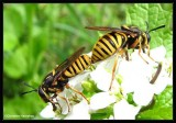 Hover flies (Sphecomyia vittata), a wasp mimic