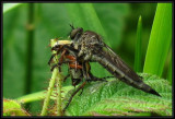 Robber fly (Asilidae) with rose chafer beetle (Macrodactylus)