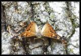 Hackberry Emperor (Family: Nymphalidae; Subfamily Apaturinae)