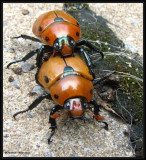 Beetles (Coleoptera) (44 Galleries)