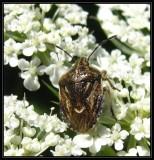 Stinkbug (Trichopepla semivittata)