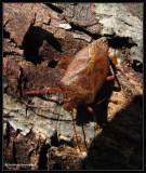 Stinkbug, possibly Apoecilus