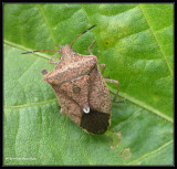 Stinkbug (Euschistus)