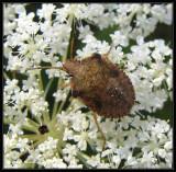 Stinkbug nymph