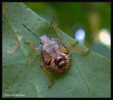 Predatory Stinkbug nymph (Podisus sp.)