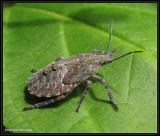 Stinkbug nymph (Brochymena)