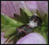 Two-spotted Stinkbugs (Cosmopepla bimaculata)