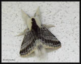Tent Caterpillar and Lappet Moths (Family: Lasiocampidae) 7673 to 7701