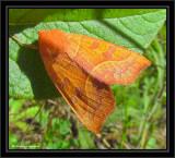 Scalloped sallow moth  (Eucirroedia pampina) #9952