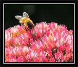 Honey bee (Apis mellifera) on Sedum