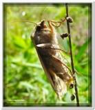 Moth laying eggs