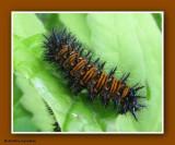 Baltimore checkerspot larva  (Euphydryas phaeton)