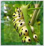 Black swallowtail larva (Papillio polyxenes) on wild parsnip