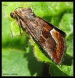 Bog deltote moth (Deltote bellicula) #9046