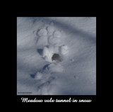 Meadow vole tunnel in snow