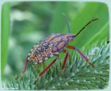 Stink bug nymph (Apoecilus sp.) ?