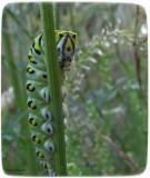 Black swallowtail butterfly  larva (Papillio polyxenes)