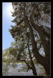 pine shine