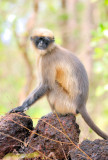 Black-Footed Gray Langur (Semnopithecus hypoleucos)