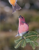 Durbec des Sapins (m) / Pine Grosbeack (m)