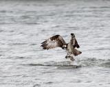 Balbuzard Pêcheur / Osprey