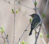 Roitelet �à Couronne Rubis / Ruby-crowned Kinglet